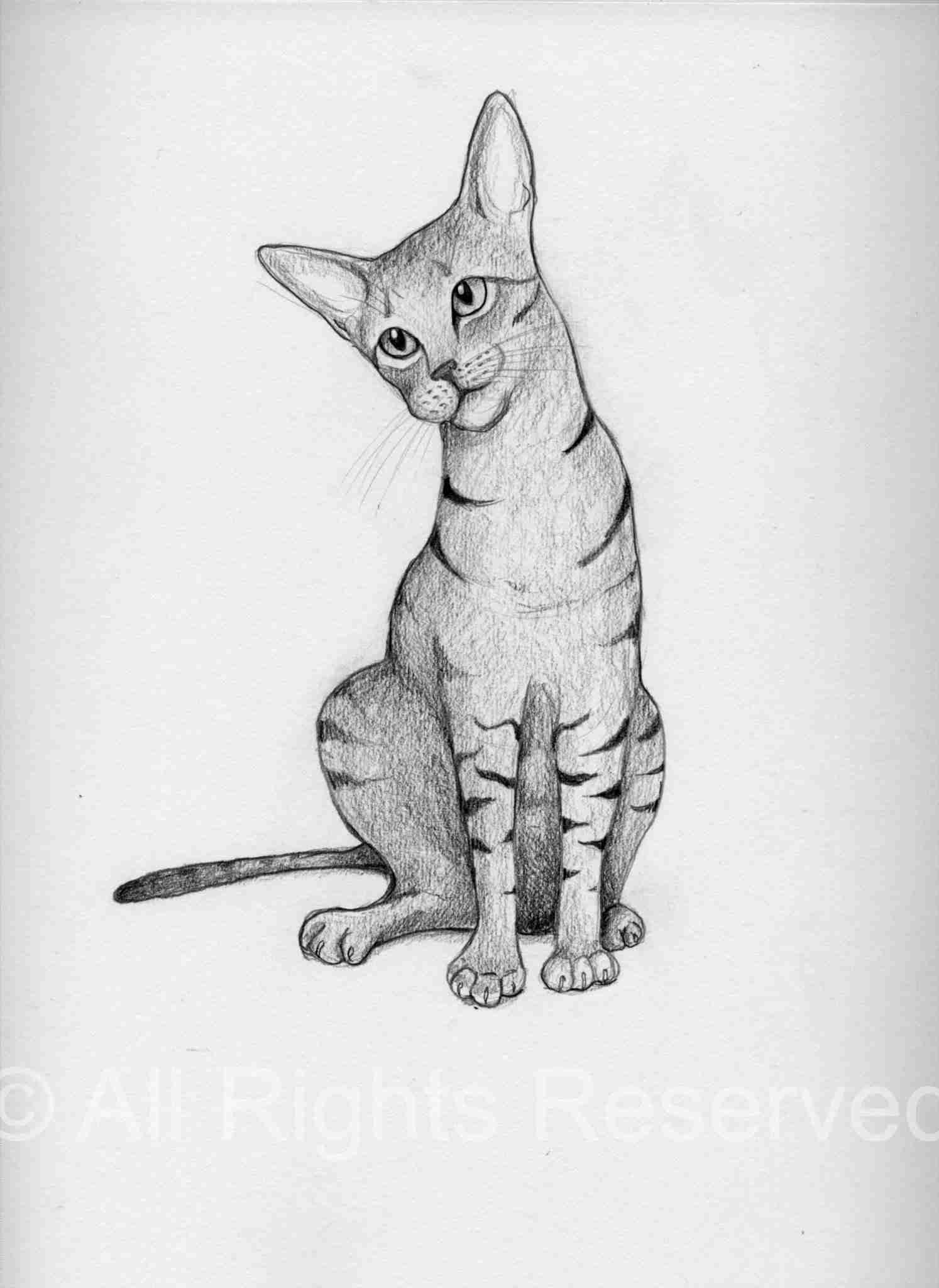 drawing of a tabby/abyssinian cat