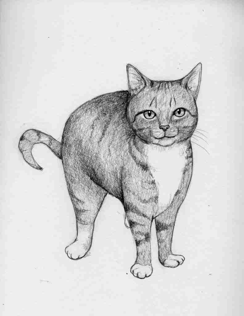 drawing of a tabby cat with a white chest